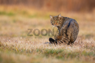 European wildcat looking back on a meadow in autumn.