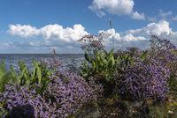 Strandflieder an der Wesermündung bei Fedderwardersiel    Sea lavender at the mouth of the Weser by Fedderwardersiel