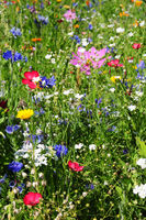 Wild summer meadow flowers