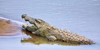 nile crocodile at South Luangwa National Park, Zambia, (Crocodylus niloticus)
