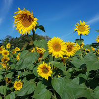 Blooming Sunflowers on a field