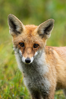 Cute red fox looking to camera with big eyes in summer