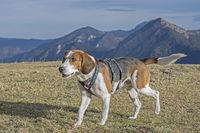 Beagle beim Herzogstandaufstieg