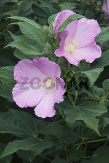 Close-up image of Rose mallow flowers