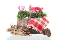 Red and pink Cyclamen in wicker basket