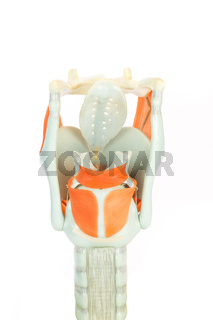 Artificial human larynx or voive box with vocal cords