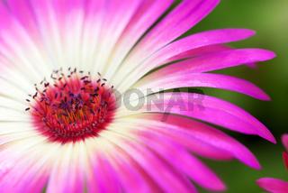 Sunny Close Up Of Daisy Flower