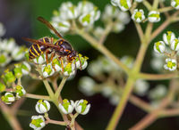 Wasp on the blossoms of a bee tree