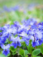 Violets flowers blooming in spring