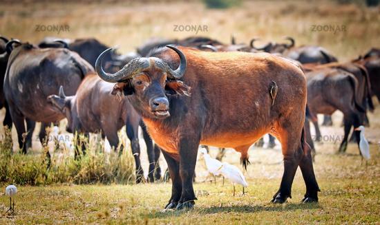 African buffalo, Murchison Falls National Park Uganda (Syncerus caffer)
