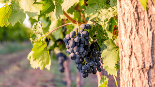 Vineyards with blue grapes at sunset in autumn harvest. Ripe grapes in fall at dusk
