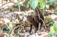 Ring-tailed mongoose Madagascar wildlife