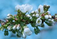 Macro shot of white cherry flowers.
