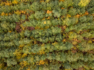 Aerial view from a drone above forest plantation from young trees.