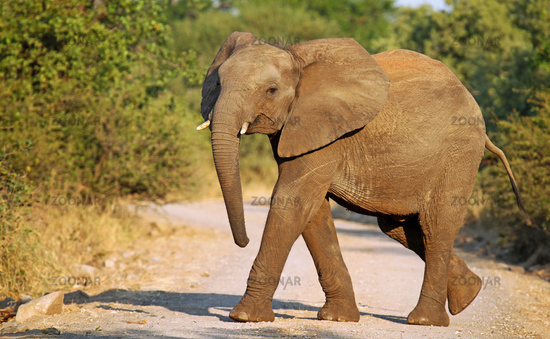 african elephant crossing the street, south africa