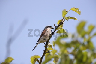 red-backed shrike (Lanius collurio), male, Germany, Baden-Wuerttemberg