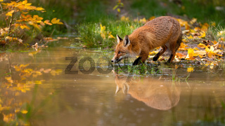 Red fox drinking from water in colorful autumn nature