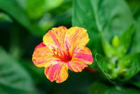 A yellow orange flower of a hibiscus-like plant.