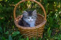 Siberian kitten portrait in the basket