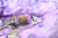 Macro of white butterfly on purple Rhaponticum carthamoides flower