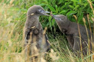 Gelbaugenpinguin Nachwuchs Neuseeland