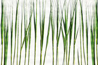 Green cane stalks on a white background with natural light. Rows of dried green grass of different lengths. Plant background, ecology.