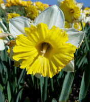 Narzisse, Narcissus, Dinnerplate