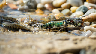 Common minnow reproducing on gravel in summer nature