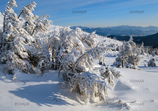 Morning winter calm mountain landscape with beautiful frosting trees and snowdrifts on slope