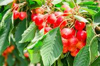 Many beautiful rainier cherries berries shiny bunc