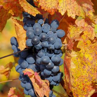 Weintraube rot - grape red 34