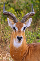 Ugandan kob, Murchison Falls National Park Uganda (Kobus thomasi)