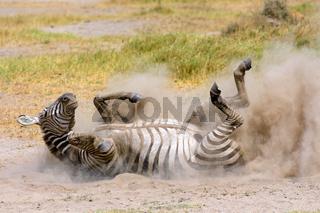 Plains Zebra in dust