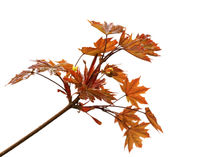 Branch of maple tree with dark red maple-leafs