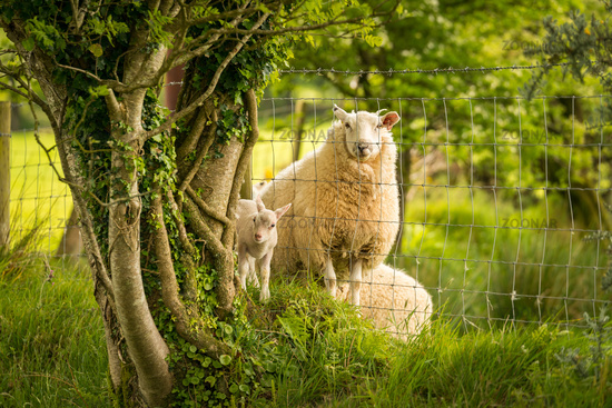 Lamb and sheep divided by a fence