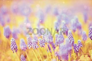 Hyazinthen auf einem Feld im weichen goldenen Sonnenlicht