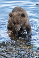 Cute brown bear cub stands on river bank while fishing red salmon fish