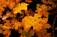 Oak leaves in autumn with dark background
