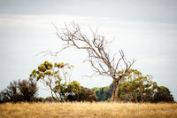 lonely tree in an Australian landscape scenery