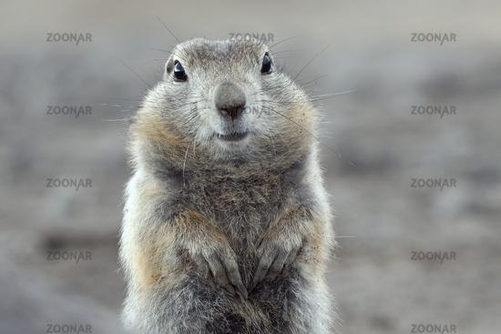 Portrait of Arctic ground squirrel. Cute curious wild animal