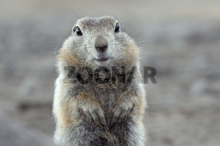 Portrait of Arctic ground squirrel. Cute curious wild animal of genus of medium sized rodents of squirrel family