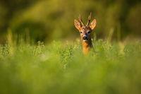 Roe deer buck peeking out of grass in summertime nature