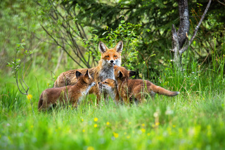 Red fox with her three little cubs playing on the forest clearing in spring