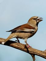 juvenile hawfinch on a branch