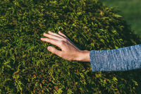the hand of a young woman is touching a lush thuja bush. Reunion with nature and care for the garden concept