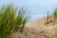 Beach gras in the dunes