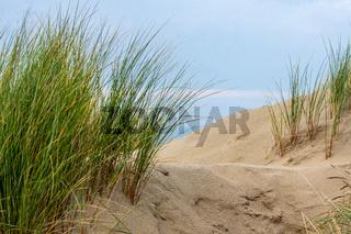 Strandgras in den Dünen