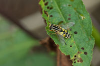 Common marsh hover fly