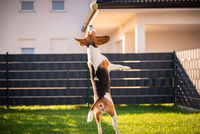Beagle dog jumping and playing with a ball in green garden park.