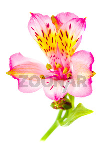 Alstroemeria isolated